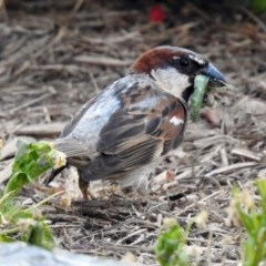 Passer domesticus (House Sparrow) at Macarthur, ACT - 13 Feb 2018 by RodDeb