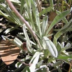 Leucochrysum alpinum at Namadgi National Park - 12 Feb 2018