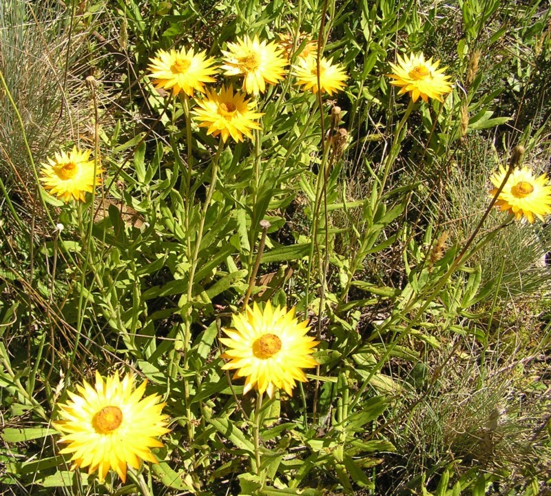 Xerochrysum subundulatum at Namadgi National Park - 12 Feb 2018