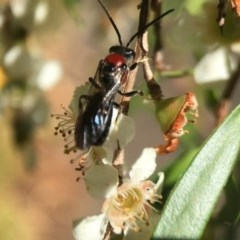 Lasioglossum (Callalictus) callomelittinum (Halictid bee) at Canberra Central, ACT - 11 Feb 2018 by PeterA