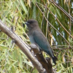 Eurystomus orientalis (Dollarbird) at Jerrabomberra Wetlands - 9 Feb 2018 by Christine