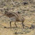 Gallinago hardwickii at Jerrabomberra Wetlands - 9 Feb 2018