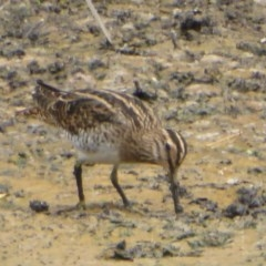 Gallinago hardwickii (Latham's Snipe) at Jerrabomberra Wetlands - 9 Feb 2018 by Christine