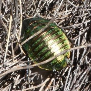 Polyzosteria viridissima at Namadgi National Park - 12 Feb 2018
