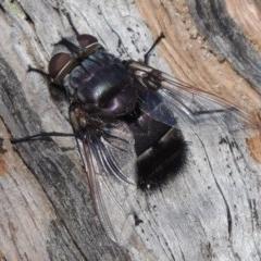 Rutilia (Donovanius) sp. (genus & subgenus) (A Bristle Fly) at Rob Roy Range - 3 Feb 2018 by michaelb
