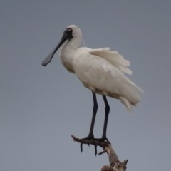 Platalea regia (Royal Spoonbill) at Jerrabomberra Wetlands - 12 Feb 2018 by roymcd