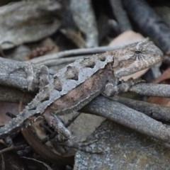 Rankinia diemensis (Mountain Dragon) at Cotter River, ACT - 6 Jan 2018 by roymcd