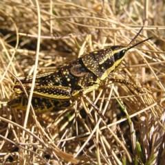 Monistria concinna (Southern Pyrgomorph, Southern Gaudy Grasshopper) at Namadgi National Park - 12 Feb 2018 by MatthewFrawley