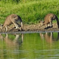 Macropus giganteus (Eastern Grey Kangaroo) at Jerrabomberra Wetlands - 13 Feb 2018 by RodDeb