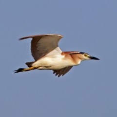 Nycticorax caledonicus (Nankeen Night-Heron) at Jerrabomberra Wetlands - 13 Feb 2018 by RodDeb