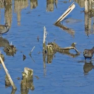 Porzana fluminea at Jerrabomberra Wetlands - 14 Feb 2018
