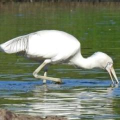 Platalea flavipes at Jerrabomberra Wetlands - 14 Feb 2018