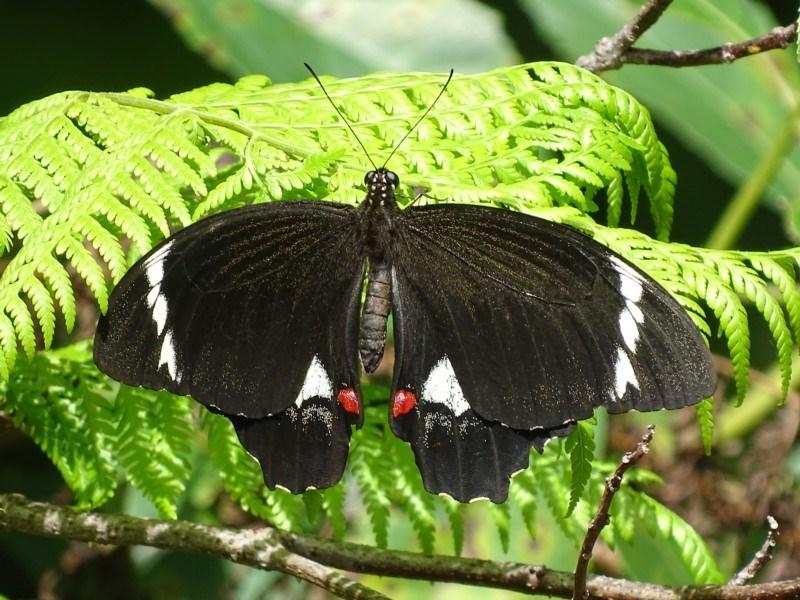 Papilio aegeus at ANBG - 1 Feb 2018