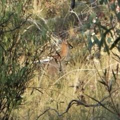 Macropus rufogriseus (Red-necked Wallaby) at Aranda Bushland - 15 Feb 2018 by CathB