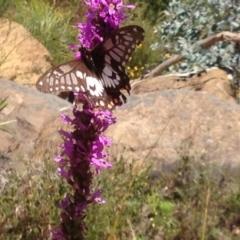 Papilio anactus at ANBG - 16 Feb 2018