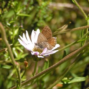 Neolucia hobartensis at Namadgi National Park - 12 Feb 2018