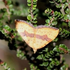 Chrysolarentia polyxantha (Yellow Carpet Moth) at Namadgi National Park - 11 Feb 2018 by HarveyPerkins