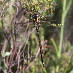 Austroaeschna pulchra (Forest Darner) at Namadgi National Park - 11 Feb 2018 by HarveyPerkins