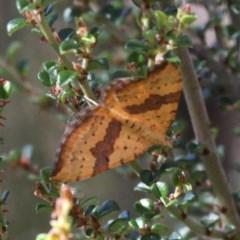 Chrysolarentia polyxantha (Yellow Carpet Moth) at Namadgi National Park - 11 Feb 2018 by HarveyPerkins