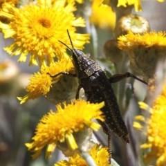 Monistria concinna (Southern Pyrgomorph, Southern Gaudy Grasshopper) at Namadgi National Park - 11 Feb 2018 by HarveyPerkins