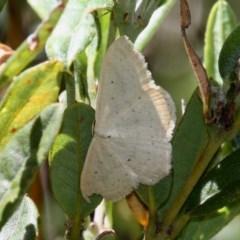Scopula (genus) (A wave moth) at Namadgi National Park - 12 Feb 2018 by HarveyPerkins