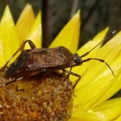 Miridae sp. (family) (Unidentified plant bug) at Namadgi National Park - 11 Feb 2018 by HarveyPerkins
