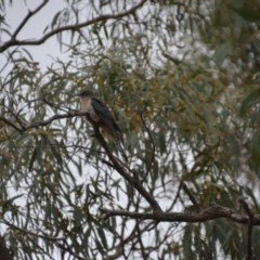 Cacomantis flabelliformis (Fan-tailed Cuckoo) at Wamboin, NSW - 26 Oct 2017 by natureguy