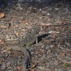Pogona barbata (Eastern Bearded Dragon) at Wamboin, NSW - 28 Jan 2018 by natureguy