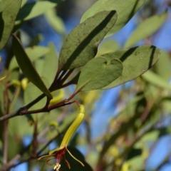 Muellerina eucalyptoides (Creeping Mistletoe) at Wamboin, NSW - 28 Jan 2018 by natureguy