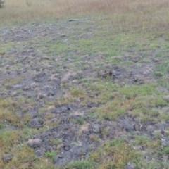 Sus scrofa (Feral Pig) at Rob Roy Range - 3 Feb 2018 by michaelb