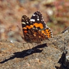 Vanessa kershawi (Australian Painted Lady) at ANBG - 16 Feb 2018 by RodDeb