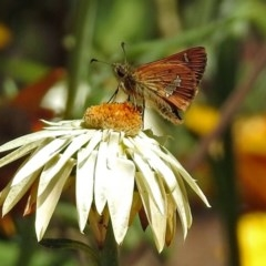Dispar compacta (Barred skipper) at ANBG - 16 Feb 2018 by RodDeb
