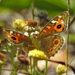 Junonia villida (Meadow Argus) at ANBG - 16 Feb 2018 by RodDeb