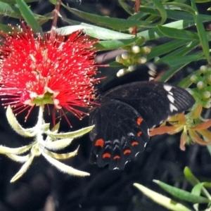 Papilio aegeus at Acton, ACT - 16 Feb 2018