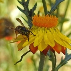 Vespula germanica (European wasp) at ANBG - 16 Feb 2018 by RodDeb