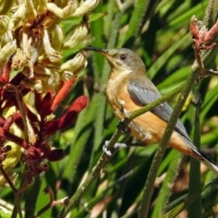 Acanthorhynchus tenuirostris (Eastern Spinebill) at ANBG - 15 Feb 2018 by RodDeb