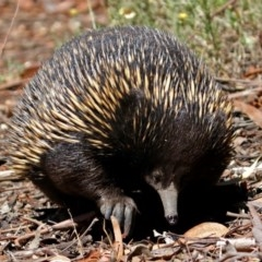 Tachyglossus aculeatus (Short-beaked Echidna) at ANBG - 16 Feb 2018 by RodDeb