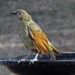 Ptilonorhynchus violaceus (Satin Bowerbird) at Macarthur, ACT - 16 Feb 2018 by RodDeb