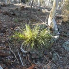 Lomandra longifolia (Spiny-headed Mat-rush / Honey Reed) at Mount Ainslie - 17 Feb 2018 by WalterEgo