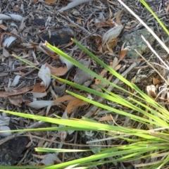 Lomandra longifolia at Mount Ainslie - 18 Feb 2018