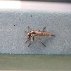 Cerdistus sp. (genus) (Robber fly) at Acton, ACT - 16 Feb 2018 by Qwerty