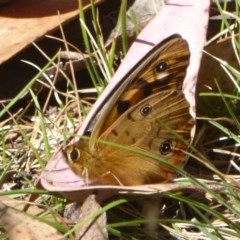 Heteronympha penelope (Shouldered Brown) at Namadgi National Park - 12 Feb 2018 by Christine
