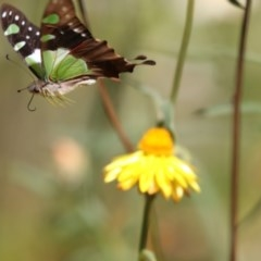 Graphium macleayanum (Macleay's Swallowtail) at ANBG - 16 Feb 2018 by Alison Milton