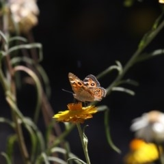 Junonia villida (Meadow Argus) at ANBG - 16 Feb 2018 by Alison Milton