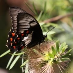 Papilio aegeus at ANBG - 16 Feb 2018