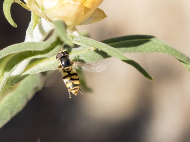 Simosyrphus grandicornis at Acton, ACT - 16 Feb 2018