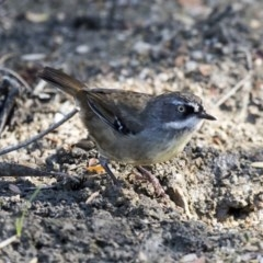 Sericornis frontalis (White-browed Scrubwren) at ANBG - 16 Feb 2018 by Alison Milton