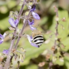 Amegilla (Notomegilla) chlorocyanea (Blue Banded Bee) at ANBG - 16 Feb 2018 by Alison Milton