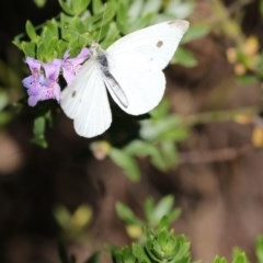 Pieris rapae (Cabbage White) at ANBG - 16 Feb 2018 by Alison Milton
