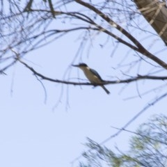 Todiramphus sanctus (Sacred Kingfisher) at Higgins, ACT - 17 Feb 2018 by Alison Milton